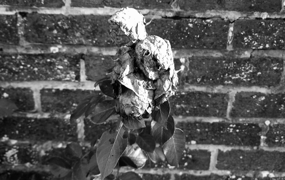 Dead summer roses, my front garden